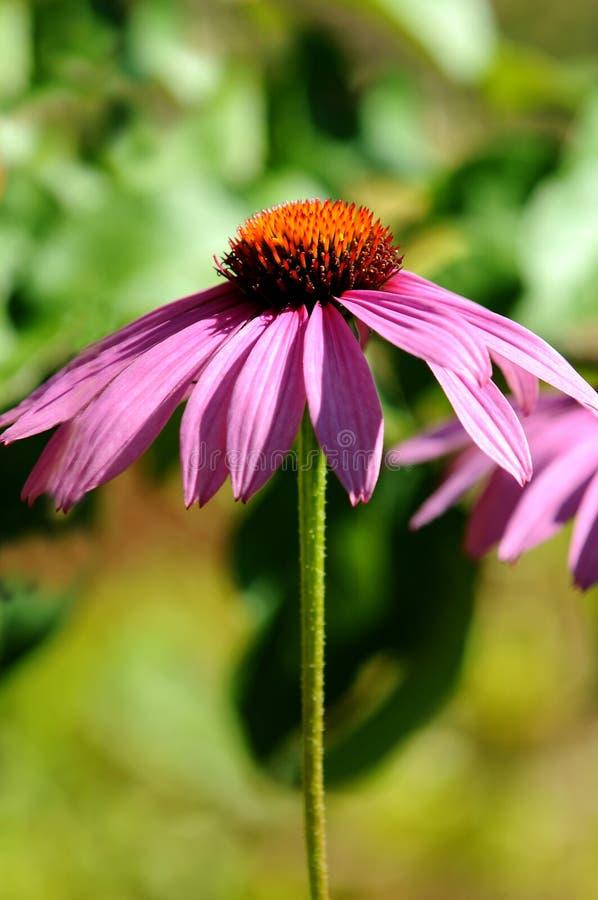Daisy Flower stock afbeelding