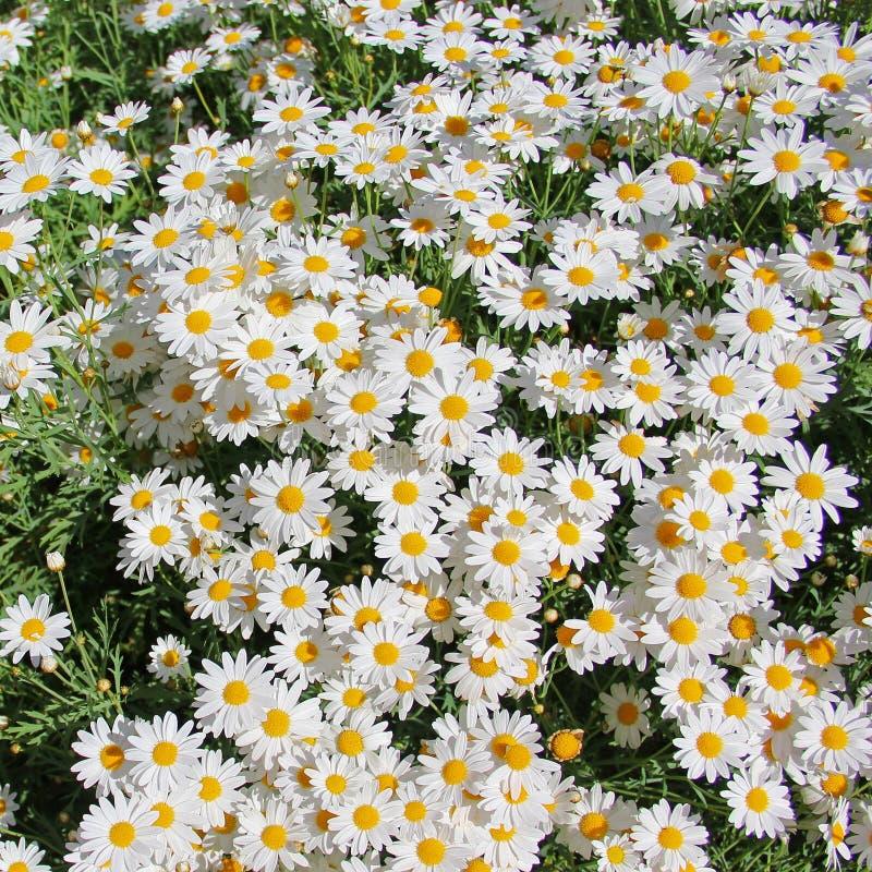 Daisy Flower images stock