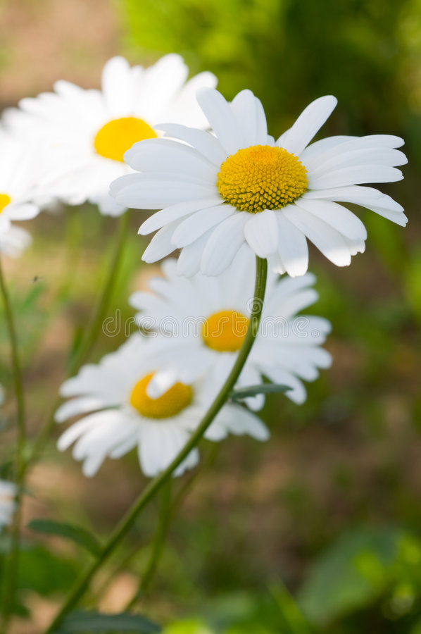 Download Daisy flower stock image. Image of meadow, garden, green - 5487347