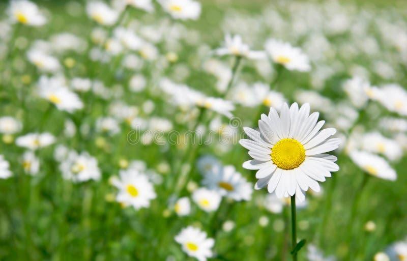 Daisy Flower Royalty Free Stock Photo