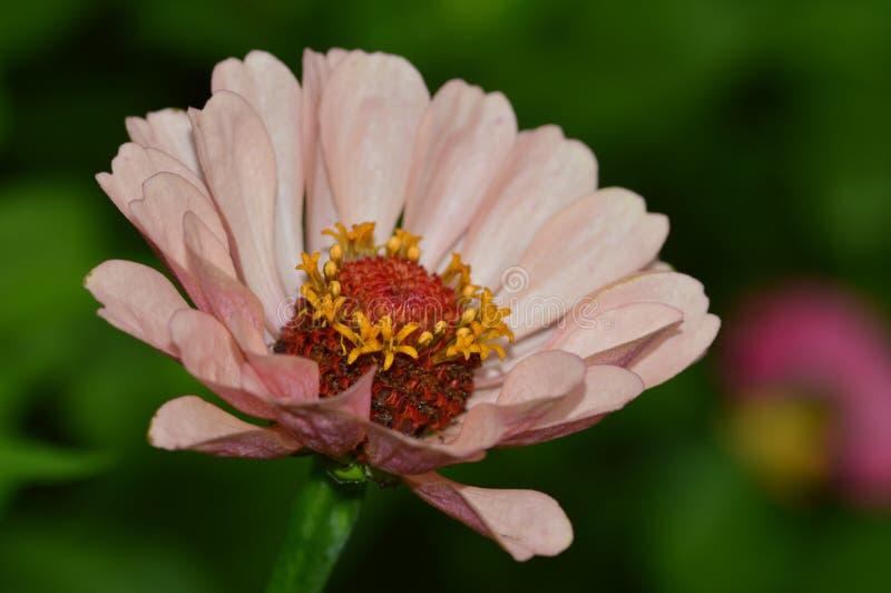 Daisy Flower immagine stock