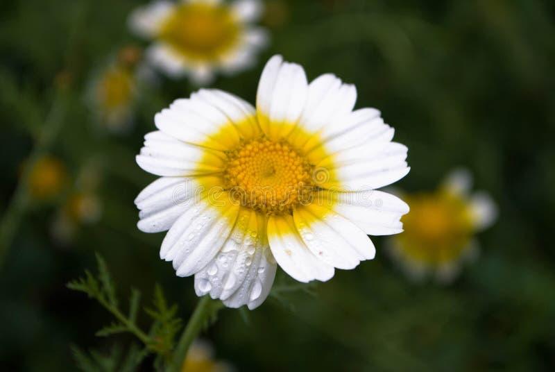 Daisy Flower Free Public Domain Cc0 Image