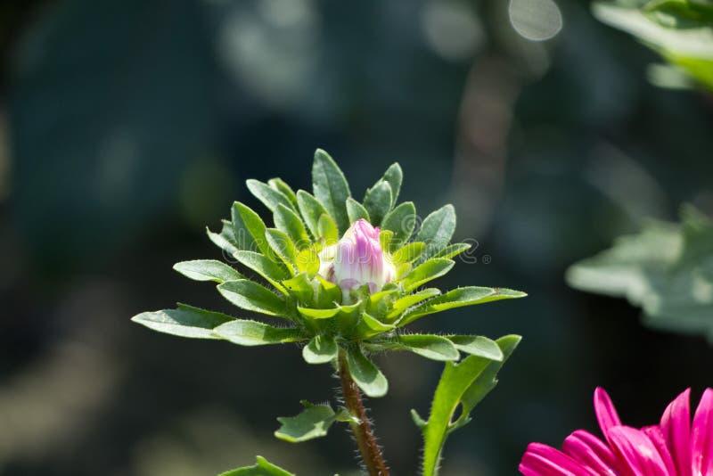 Daisy Flower foto de stock