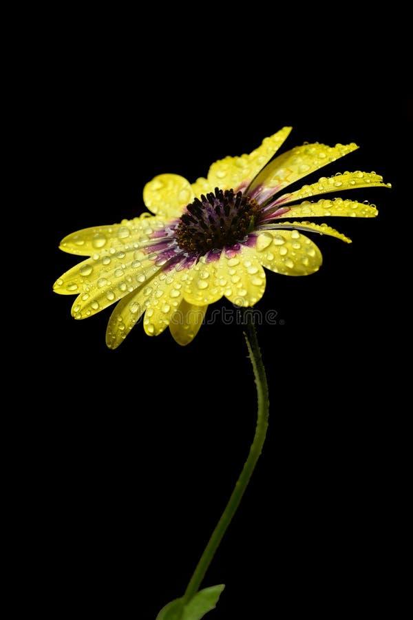 Daisy Flower amarela na mola com gotas da água fresca imagens de stock royalty free
