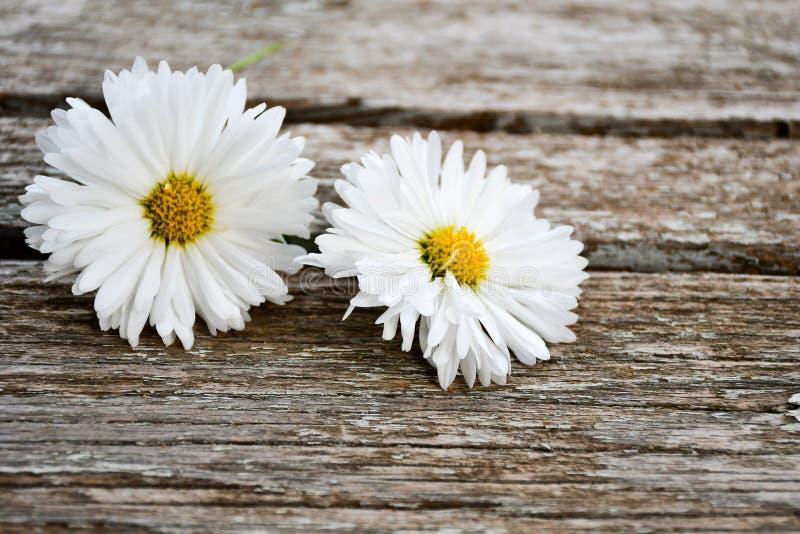 Daisy Flower blanca fotos de archivo