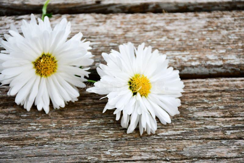 Daisy Flower blanca fotos de archivo libres de regalías