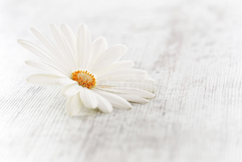 Daisy Flower blanche photo stock