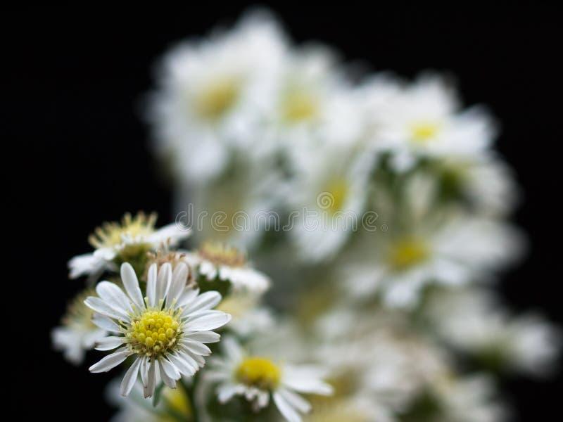 Daisy Flower-bloei in de zomer stock fotografie