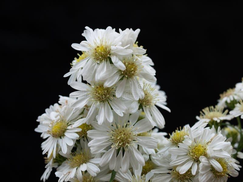 Daisy Flower-bloei in de zomer stock foto's