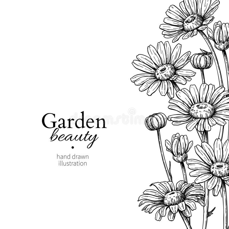 Daisy flower border drawing. Vector hand drawn engraved floral frame. Chamomile. Black ink sketch. Wild botanical garden bloom. Great for tea packaging, label royalty free illustration