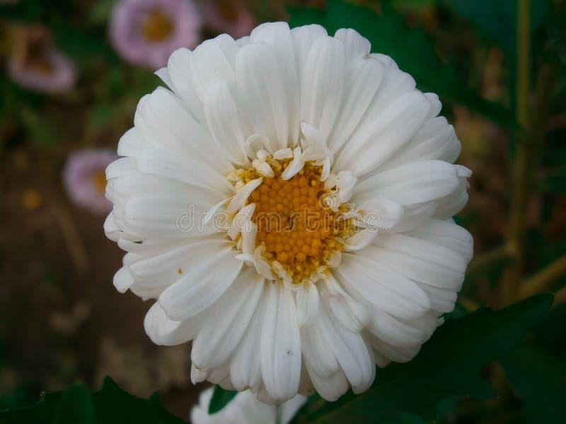 Daisy Flower branca foto de stock