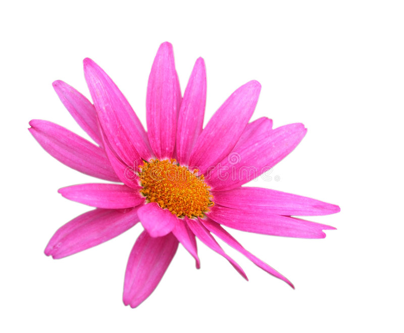 Daisy flower with clipping path royalty free stock image