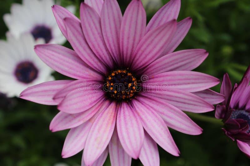 Daisy Flower Close Up porpora immagini stock libere da diritti