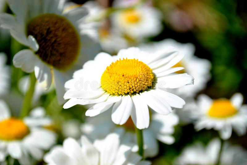 Daisy flower close-up in the rays of the bright summer sun. The frame is made on the garden in the city of Togliatti royalty free stock image