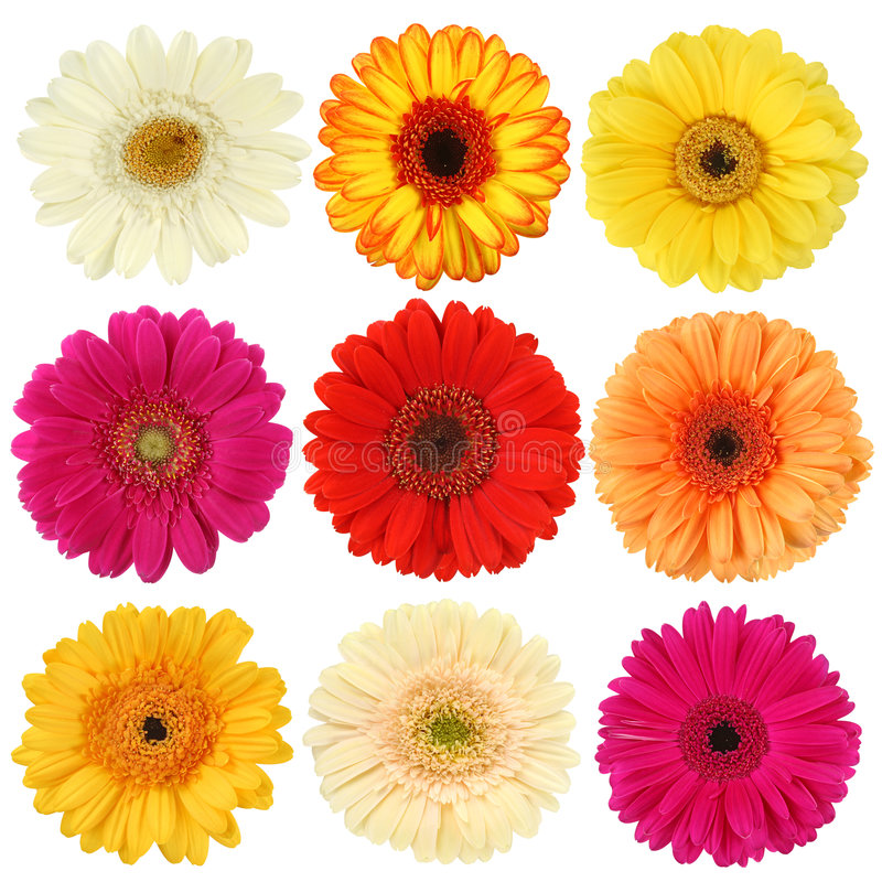Free Daisy Flower Collection Royalty Free Stock Images - 8122369
