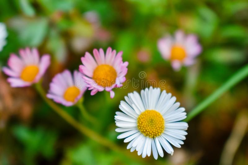 Daisy flower colorful background. Close-up Daisy flowers colorful background stock image
