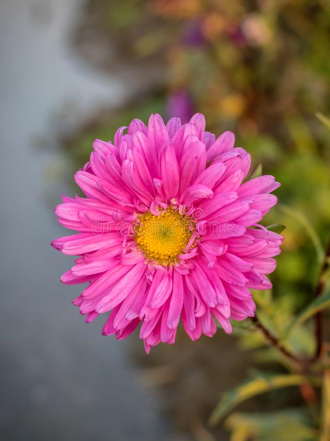 A Daisy flower is composed of pink petals and a yellow center royalty free stock photography