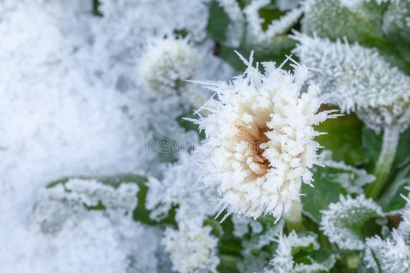 Daisy flower covered in winter ice. Daisy flower frozen in winter snow and ice royalty free stock photos