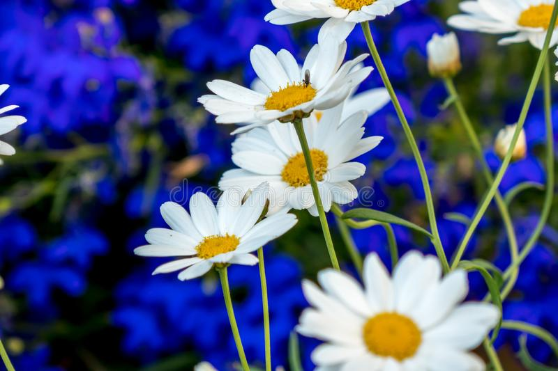 Daisy flower daisies flowers white on blue background royalty free stock photography