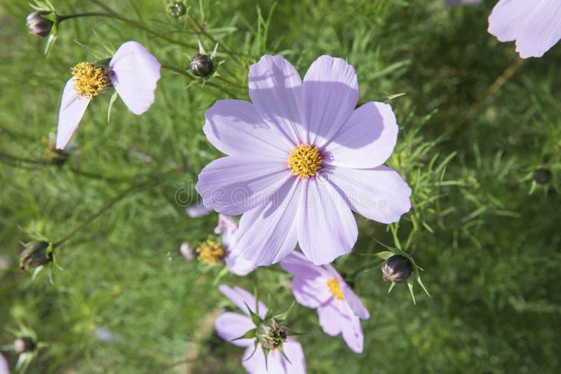 Daisy Flower dans Sabah images libres de droits