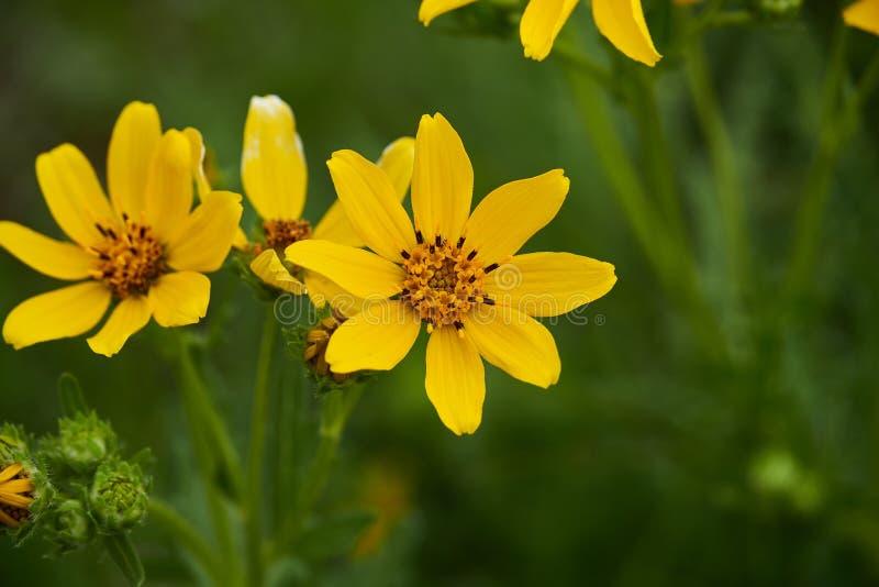 Daisy Flower de Engelmann Texas Wildflowers imagens de stock royalty free