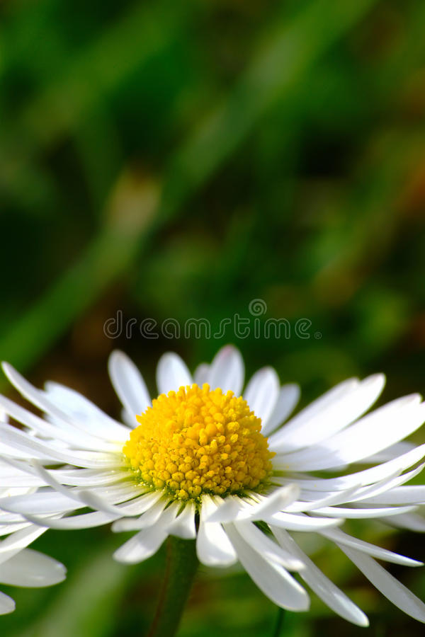 Daisy Flower in de Lente stock foto's