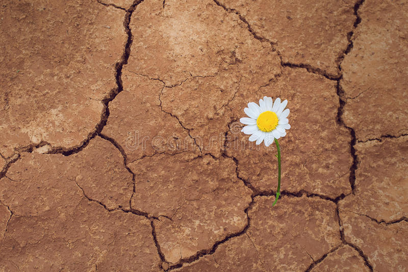 Daisy flower in the desert royalty free stock photos
