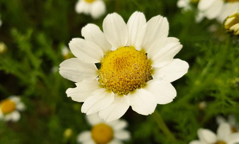 daisy flower detail with its white petals receiving sunlight on a background of green leaves and other daisy flowers stock photography