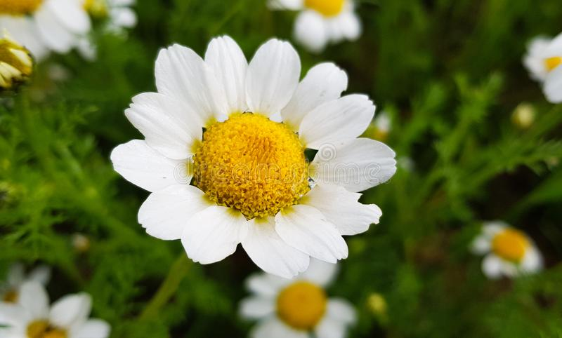 daisy flower detail with its white petals receiving sunlight on a background of green leaves and other daisy flowers royalty free stock photography