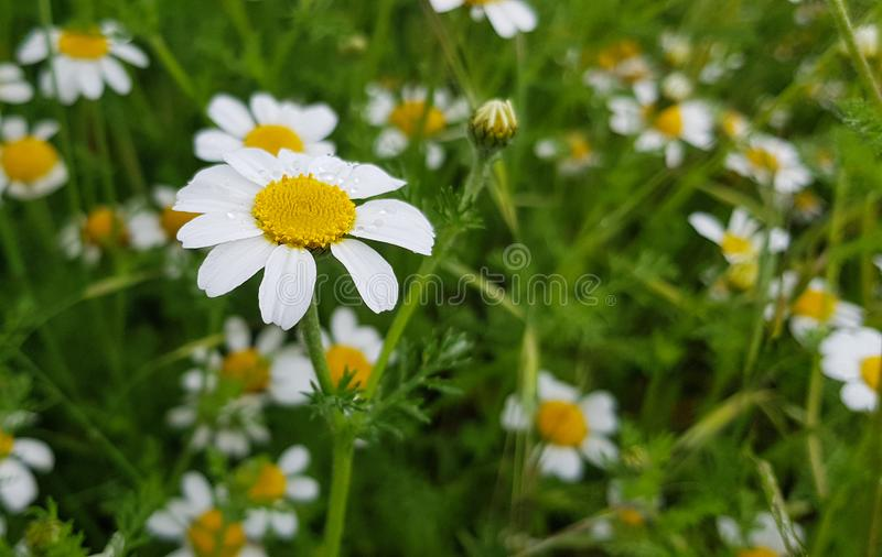 daisy flower detail with its white petals receiving sunlight on a background of green leaves and other daisy flowers stock photos
