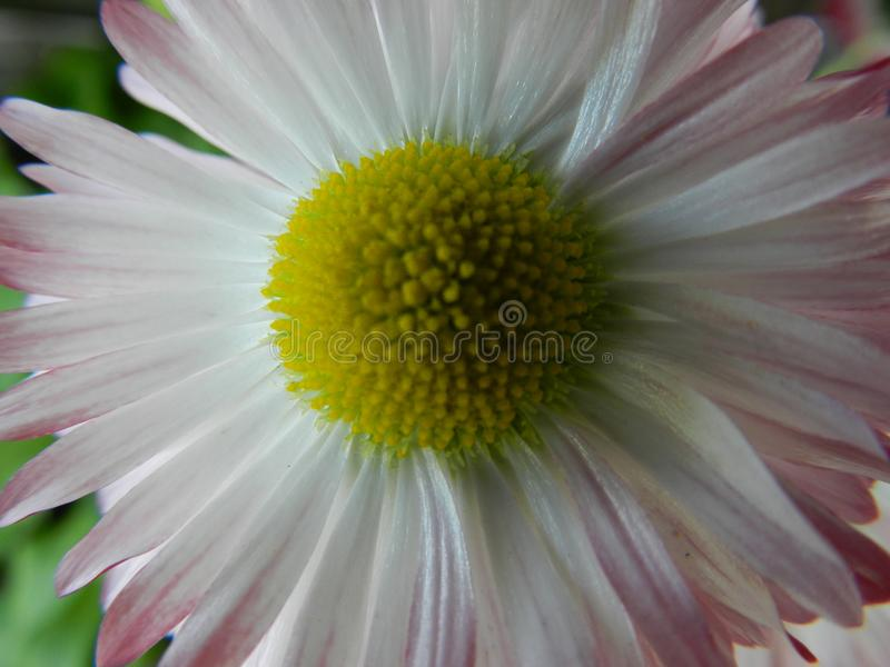 Daisy, flower, garden, lawn, meadow, outdoors, bouquet, summer ,, plants, beauty, nature ,, petals royalty free stock photo