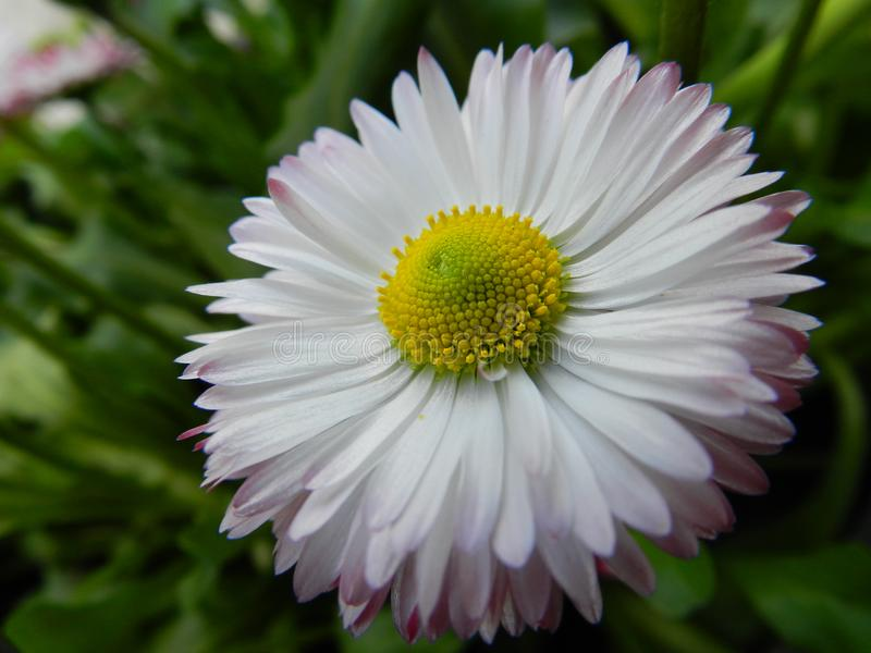 Daisy, flower, garden, lawn, meadow, outdoors, bouquet, summer ,, plants, beauty, nature ,, petals stock image