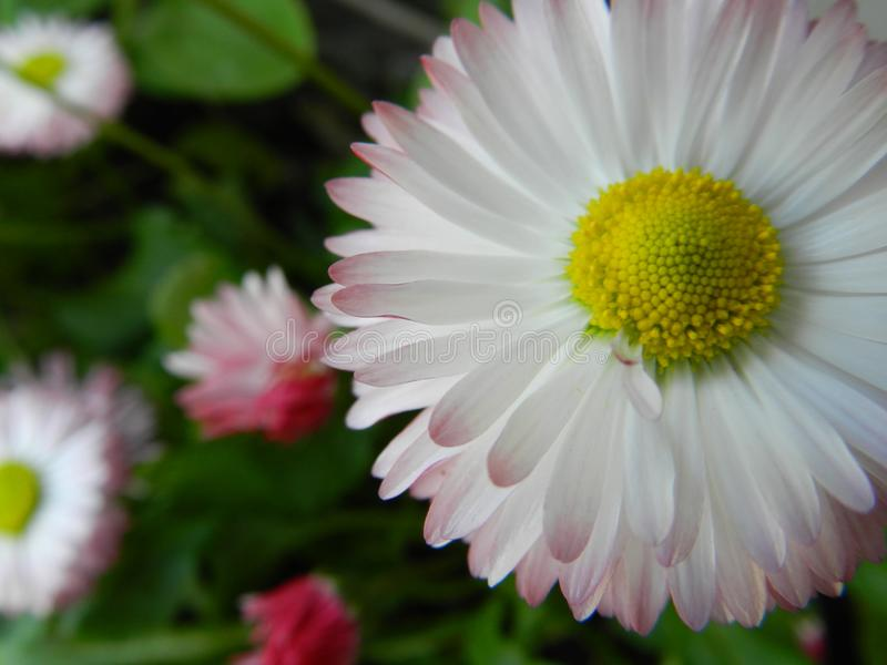 Daisy, flower, garden, lawn, meadow, outdoors, bouquet, summer ,, plants, beauty, nature ,, petals stock photo