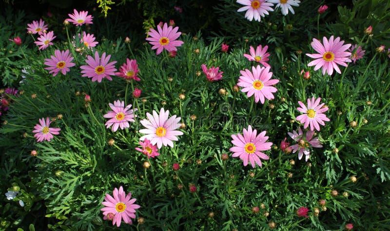 Daisy Flower Garden rosada foto de archivo libre de regalías
