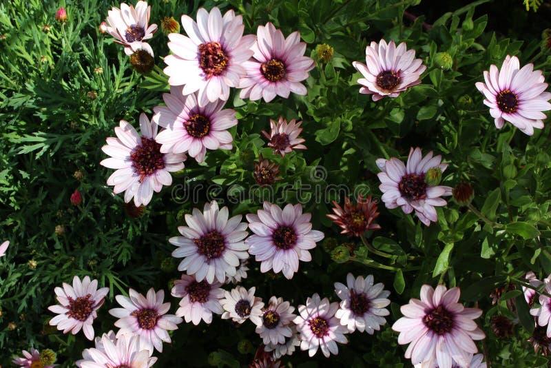 Daisy Flower Garden rosada foto de archivo
