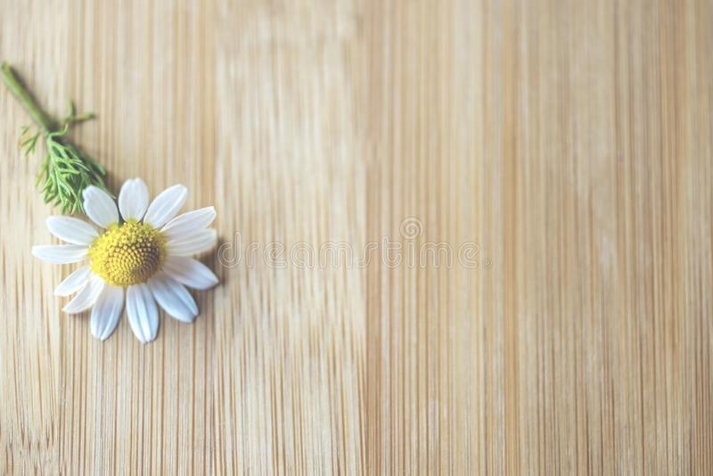 Daisy flower on a glass  wooden table, close up, above vantage point photography. stock image