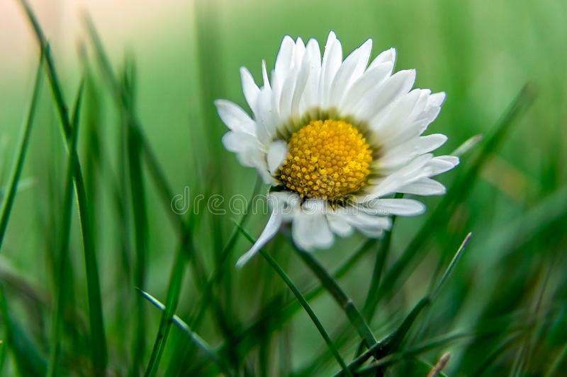 Daisy flower in the grass with shallow depth of field stock photos