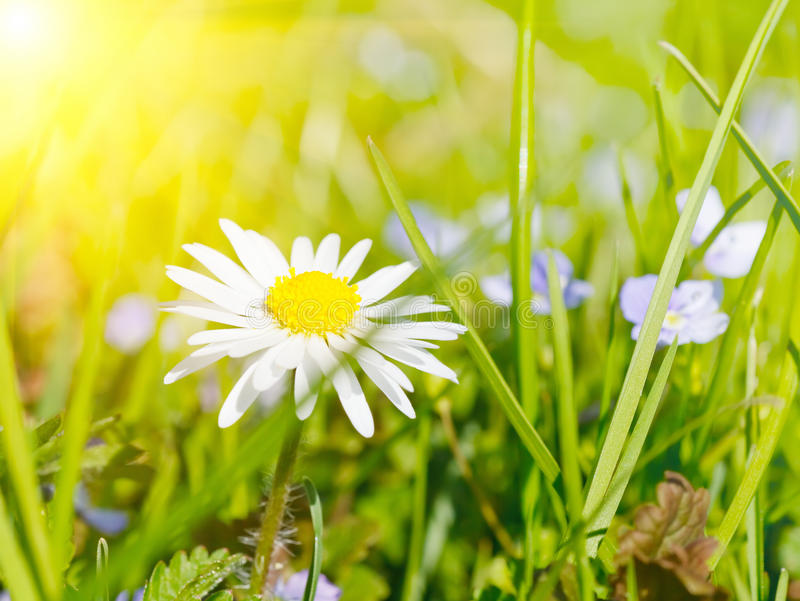 Download Daisy flower in grass stock image. Image of beautiful - 38903129
