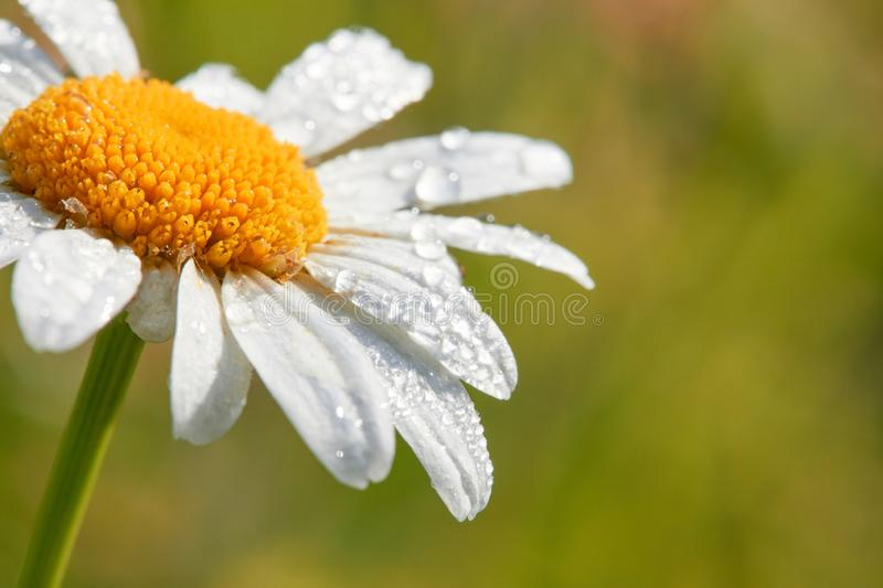 Daisy flower on green background. Dew drops on a flower. Summer background with chamomile and grass. Daisy flower on green background. Dew drops on a flower stock photography