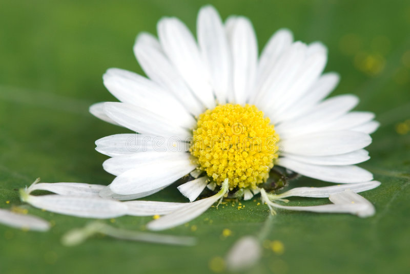 Daisy flower on green leaf. Common daisy flower with missing petals on green leaf royalty free stock photography