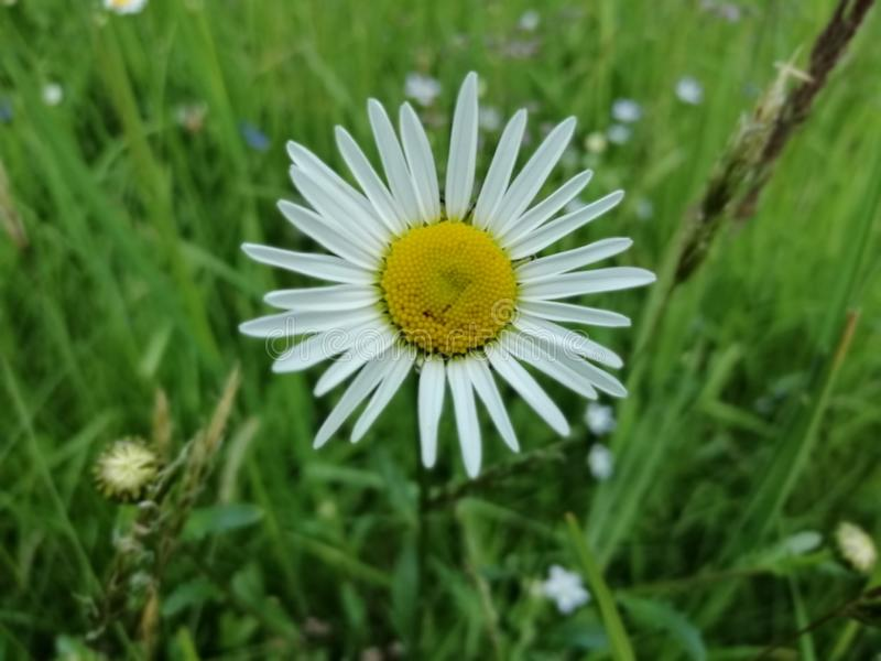 Daisy flower in a green meadow, close up. Daisy flower in a green meadow, green grass, summer, white, yellow, close up, blurred background stock photos