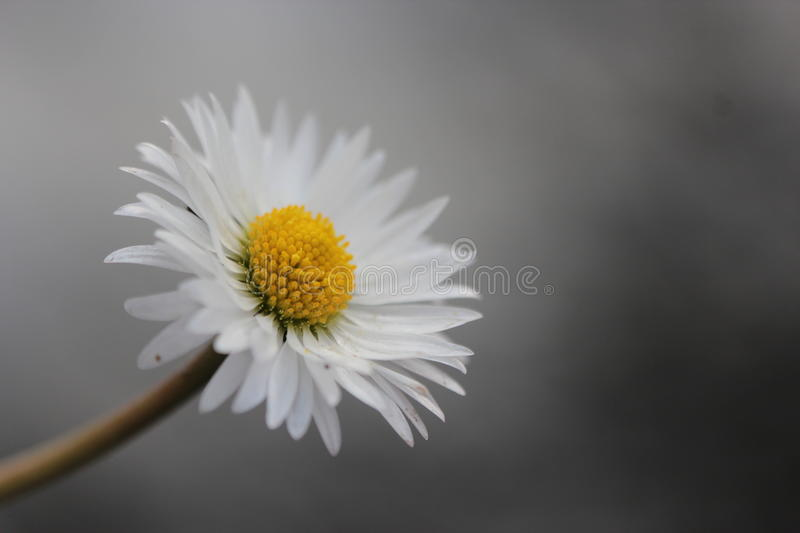Daisy flower on grey background royalty free stock photos