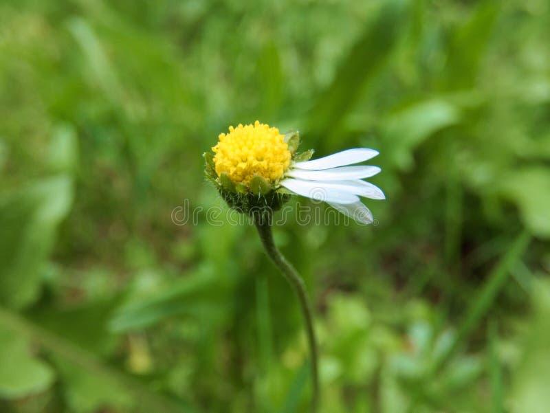 Daisy Flower Harmed royaltyfri bild