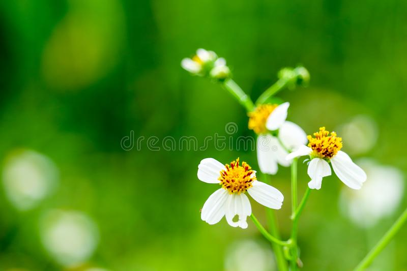daisy flower has falling because weather change into the summer royalty free stock image