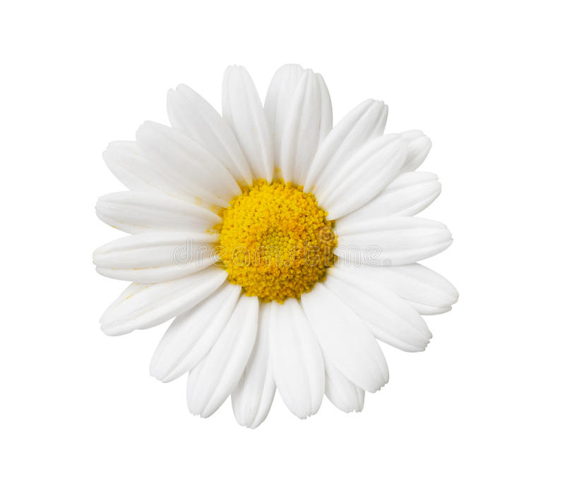 Daisy flower isolated with hand made clipping path stock image