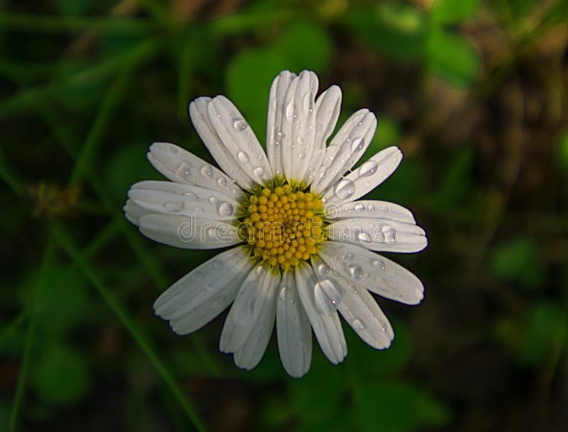 Daisy flower in the morning dew stock image