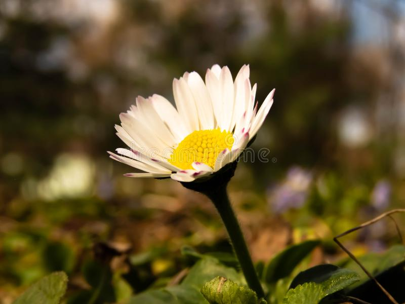 Daisy flower in grass on a sunny day royalty free stock image