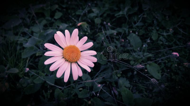 Download Daisy flower stock photo. Image of white, daisy, yellow - 83717468