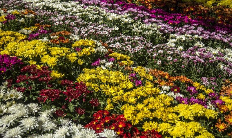 Daisy flower plant color. Cultive stock photos