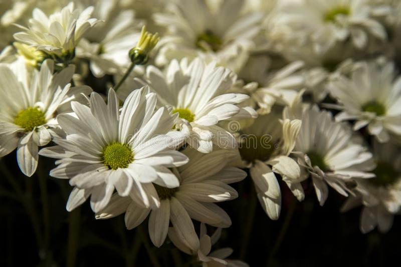 Daisy flower plant color. Cultive royalty free stock images